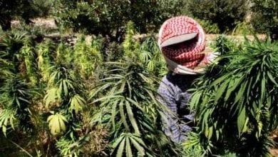 שדות מריחואנה בסוריה