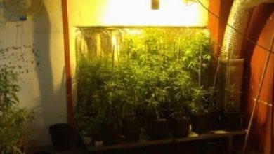 """Photo of ראשל""""צ: 150 שתילי מריחואנה נמצאו בבית פרטי בעיר"""