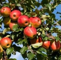 גם הם מושפעים מהאנתוציאנין: תפוחי עץ