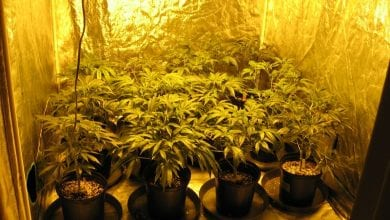 Photo of אור עקיבא: 100 שתילי מריחואנה נמצאו בדירה בעיר