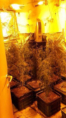חדר לגידול מריחואנה - אור עקיבא