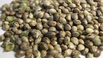 זרעי מריחואנה