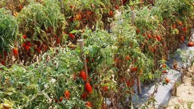 Photo of עגבניות במקום מריחואנה – שוטרים פשטו על חווה בחשד לגידול קנאביס ומצאו רק שדה עגבניות