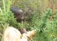 """חקלאי מקומי בודק את ה-""""צ'אמבה"""""""