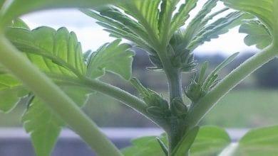 Photo of גידל 150 שתילי קנאביס – ניצל ממאסר כשהתברר שזה הצמח הלא נכון