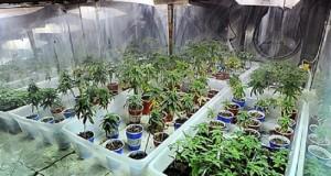 גידול מריחואנה בבית