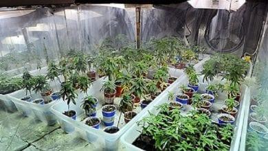 Photo of כפר סבא: מטופל בקנאביס רפואי גידל 300 שתילי מריחואנה בבית