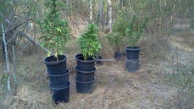 25 שתילי מריחואנה יער חדרה