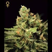 Big Bang Auto-flowering – Green House Seeds