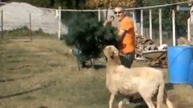 כבשים כועסות על שוטרים
