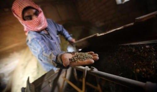 מכינים חשיש בלבנון