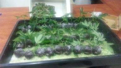 Photo of חדרה: 50 שתילי מריחואנה נמצאו במחסן בגבעת אולגה
