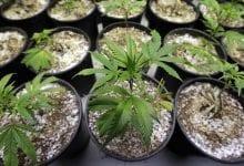 Le cannabis est rapide