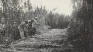 Harvesting hemp at Kibbutz Dafna