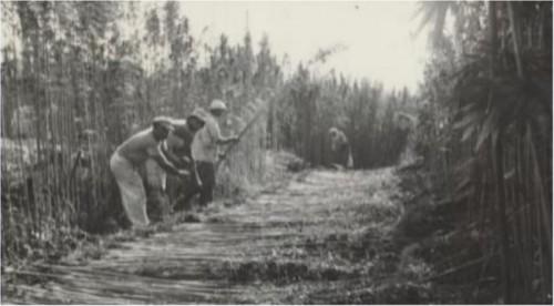 קציר קנבוס בקיבוץ דפנה 1942