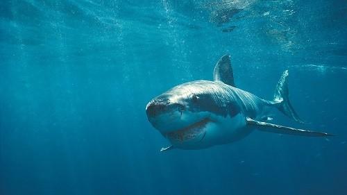 כרישים במים