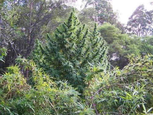 עצי הקנאביס הענקיים של קנגטיבה kagnativa