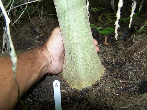 עצי הקנאביס הענקיים של קגנטיבה kagnativa