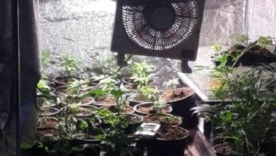 Photo of בנימינה: 170 שתילי מריחואנה נמצאו בדירה