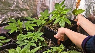 Photo of ממשלת אורוגוואי מציעה: קורס גידול מריחואנה בבית