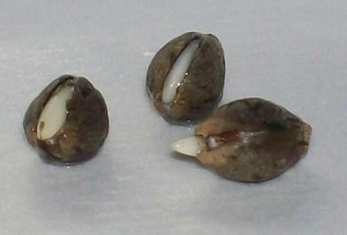 זרעי קנאביס איכותיים - התחלה מבטיחה לפרחים משובחים