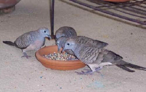ציפורים זרעי קנאביס