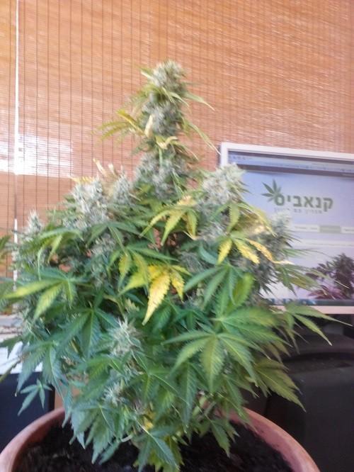 הצמח במלוא הדרו