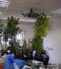בית גידול מריחואנה בשכונת רמות ירושלים