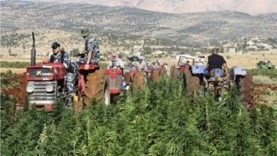 Photo of צפו: כך נראים שדות הקנאביס של לבנון