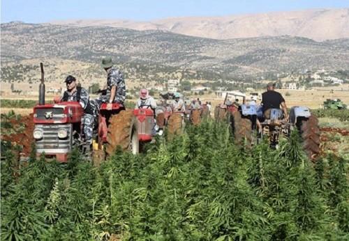 צפו: כך נראים שדות הקנאביס של לבנון