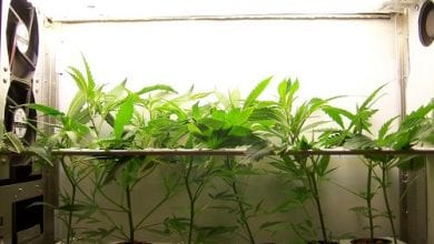 """""""Ghetto Crops"""": The art of growing cannabis in very small spaces"""