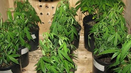 תהליכי הצמיחה מוגבלים: צמחים נבולים