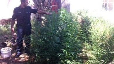 Photo of בית שאן: 33 שתילי מריחואנה בחצר בית