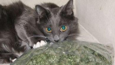חתול מריחואנה