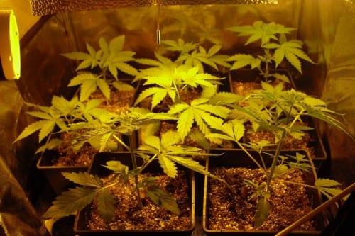 הצמחים עברו לדליים בנפח של 10 ליטר