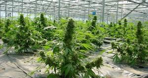 mass-producing-weed
