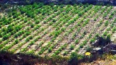 Photo of שדה עם מאות שתילי מריחואנה נתגלה בנגב