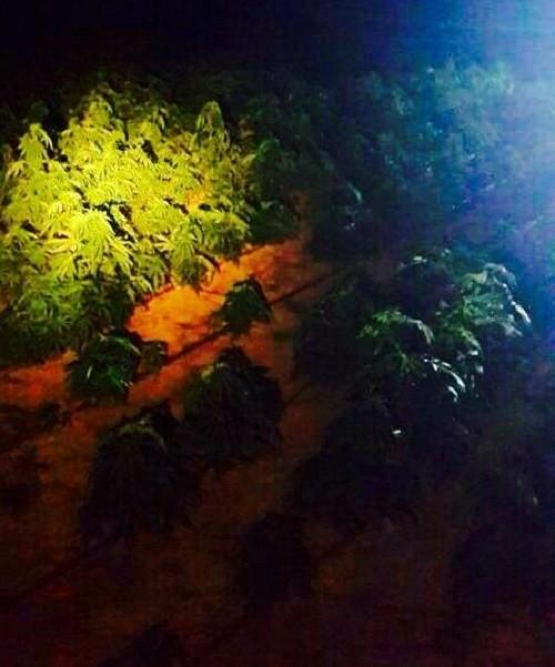 שדה מריחואנה בנגב