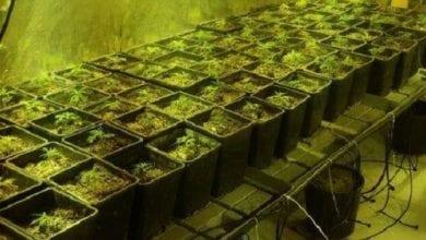 בית גידול מריחואנה רעננה