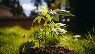 Photo of האנטומיה של הקנאביס: חלקי הצמח