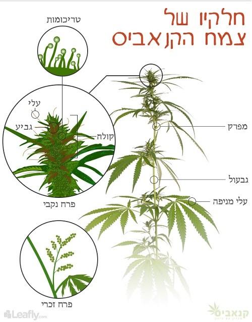 האנטומיה של הקנאביס: חלקי הצמח