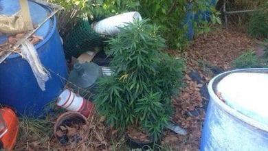Photo of בן 60 גידל 15 שתילי מריחואנה בחצר (וידאו)