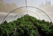 פשרת היצוא: יוקמו 75 חוות קנאביס בלבד באזורים מבודדים