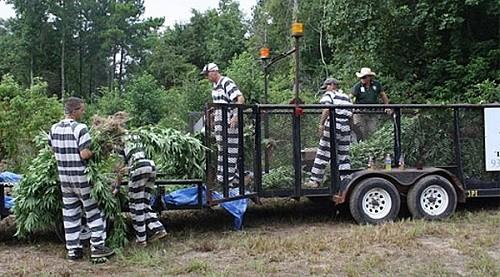 אסירים אוספים מריחואנה