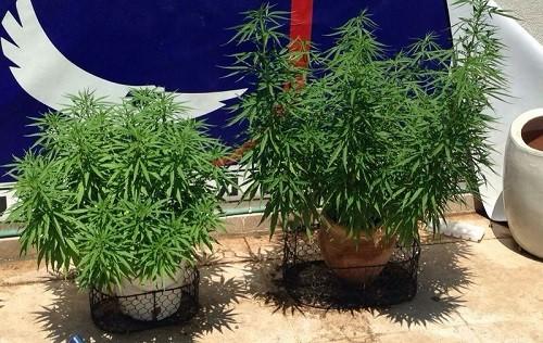 2 עציצי מריחואנה רמת השרון