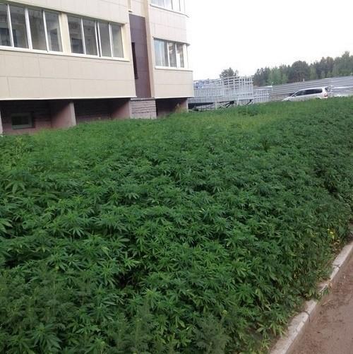 שדה מריחואנה רוסיה טעות