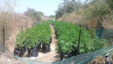 Photo of בית שמש: נחשף שדה עם 700 שתילי מריחואנה