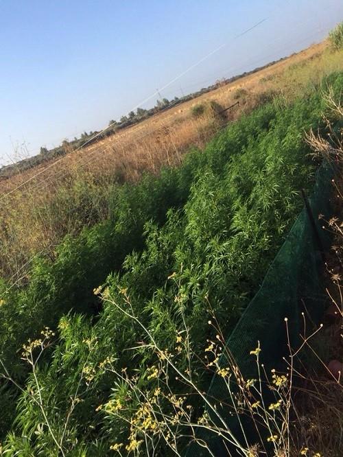 שדה מריחואנה בית שמש