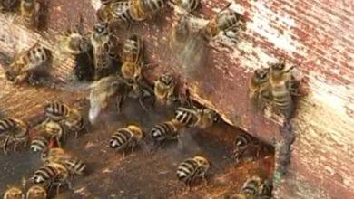 דבורים עקצו שוטרים