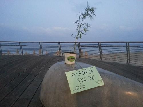 עציץ קנאביס חוף פרישמן